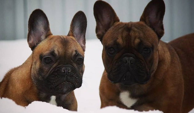 100 French Dog Names For Female Dogs The Paws