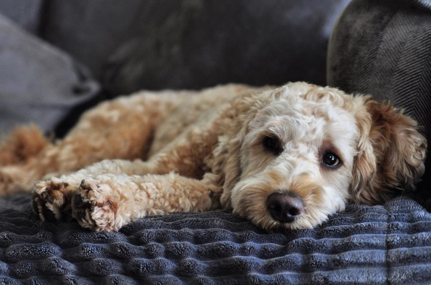 12 Reasons Why You Should Never Own Labradoodles The Paws
