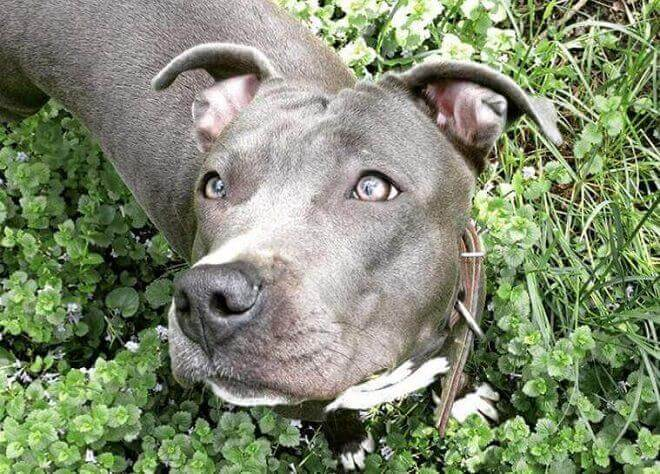 80 Strong Female Dog Names For Pitbulls   The Paws