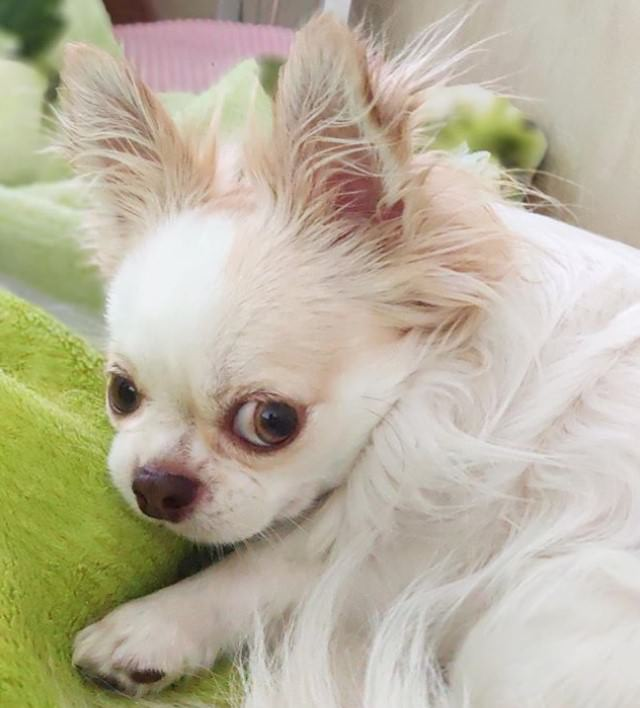 Best Pet Names For Girlfriend: Top 120 Awesome Chihuahua Names For Girl Dogs