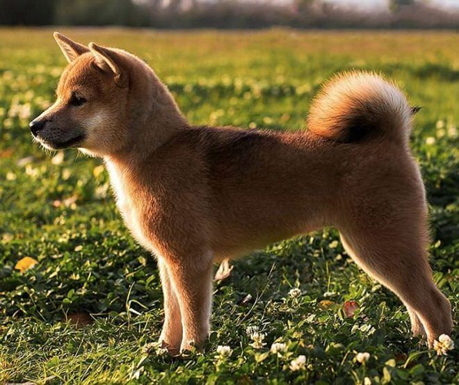 200+ Female Japanese Dog Names with Meanings   dogmale - Part 3