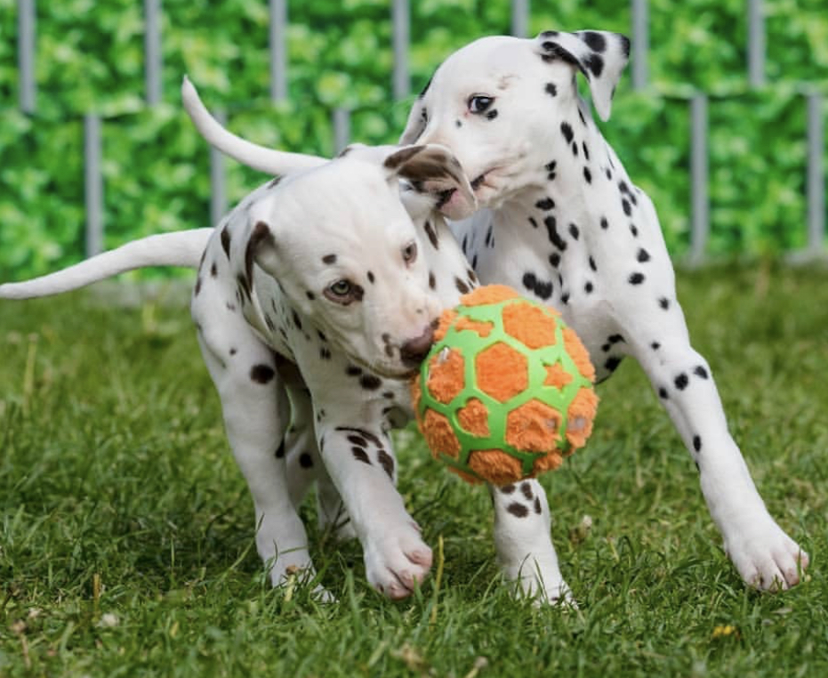 Our Dalmatian Puppies are looking for a great family in Maine