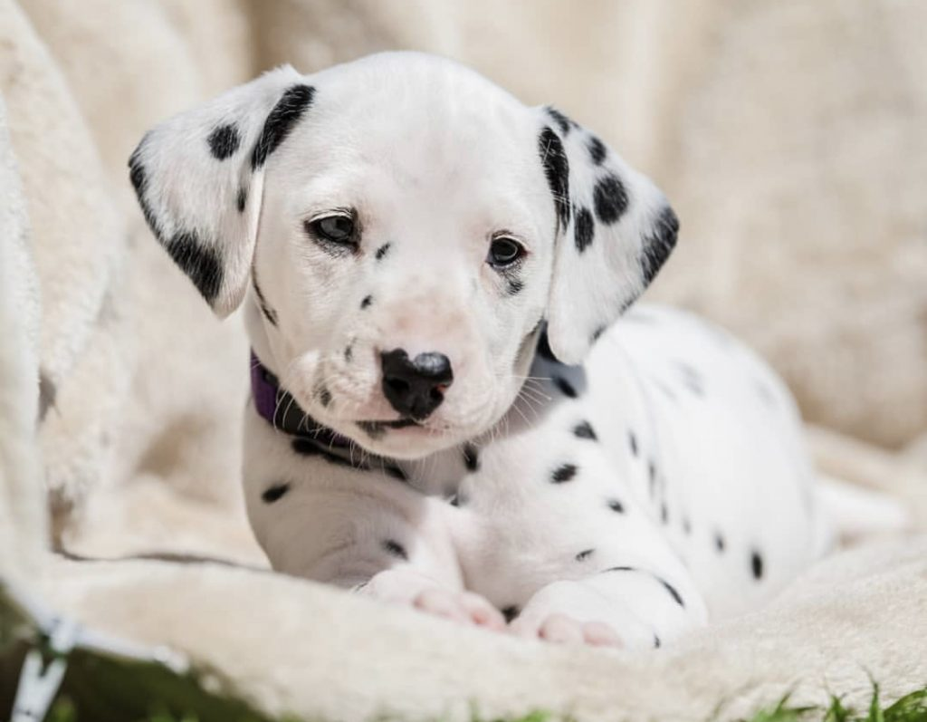 Dalmatian puppies for sale in KY USA | Cute Baby Animals ...