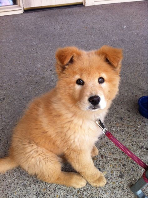 14 Chow Chow Mixes: Chow Chow Cross