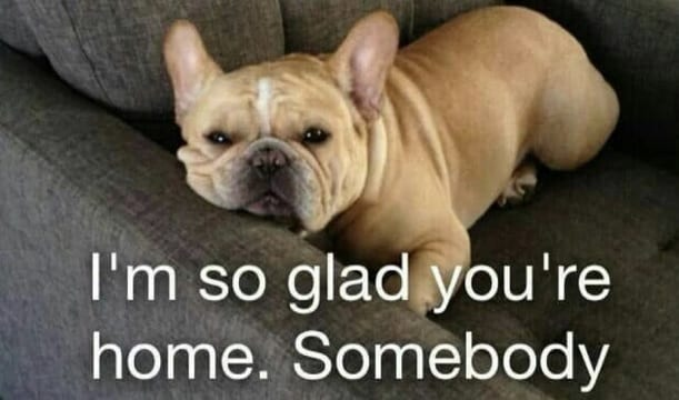 14 Best French Bulldog Memes That Will Make You Laugh The Paws