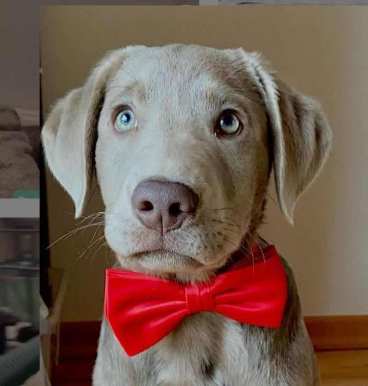 puppy labrador with bow tie