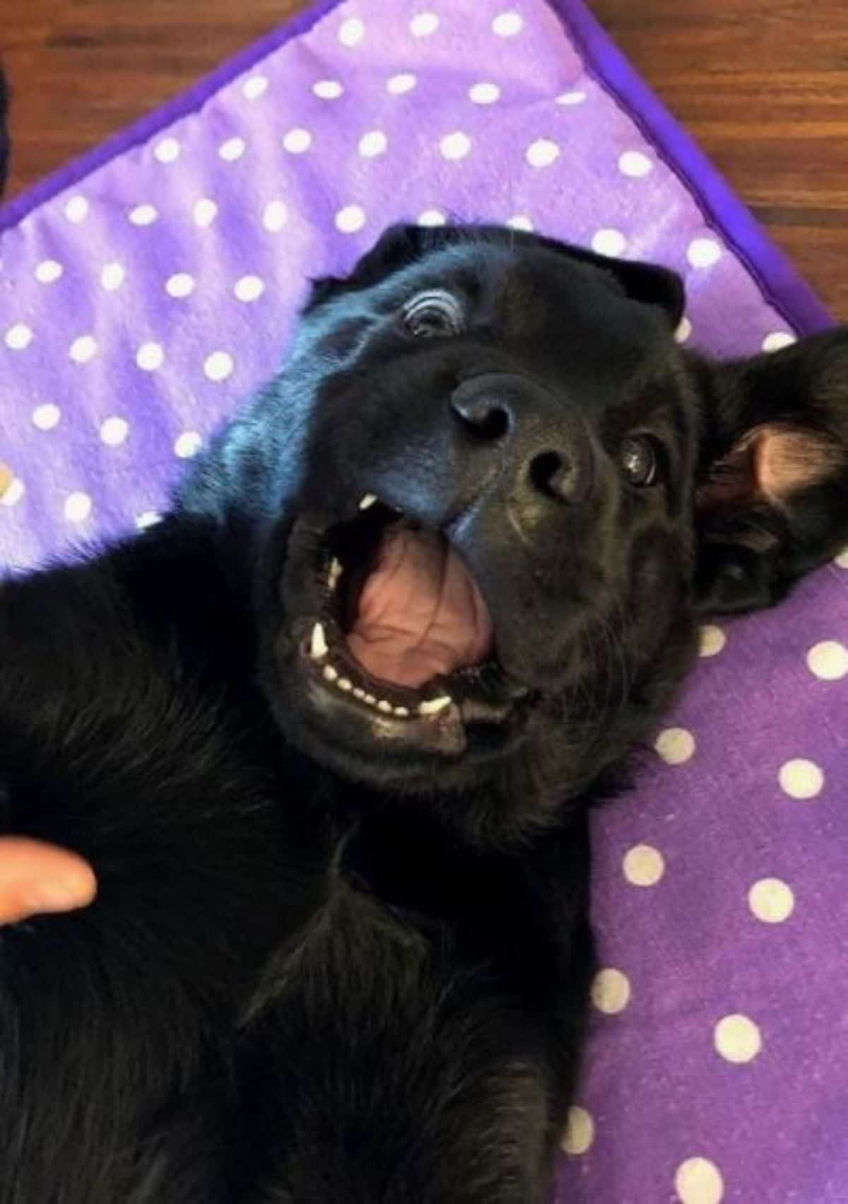 funny face black labrador