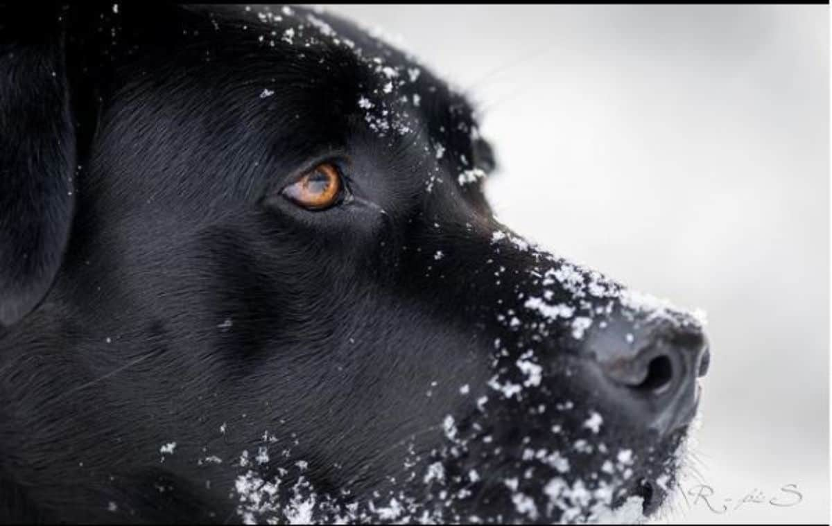 black labrador face