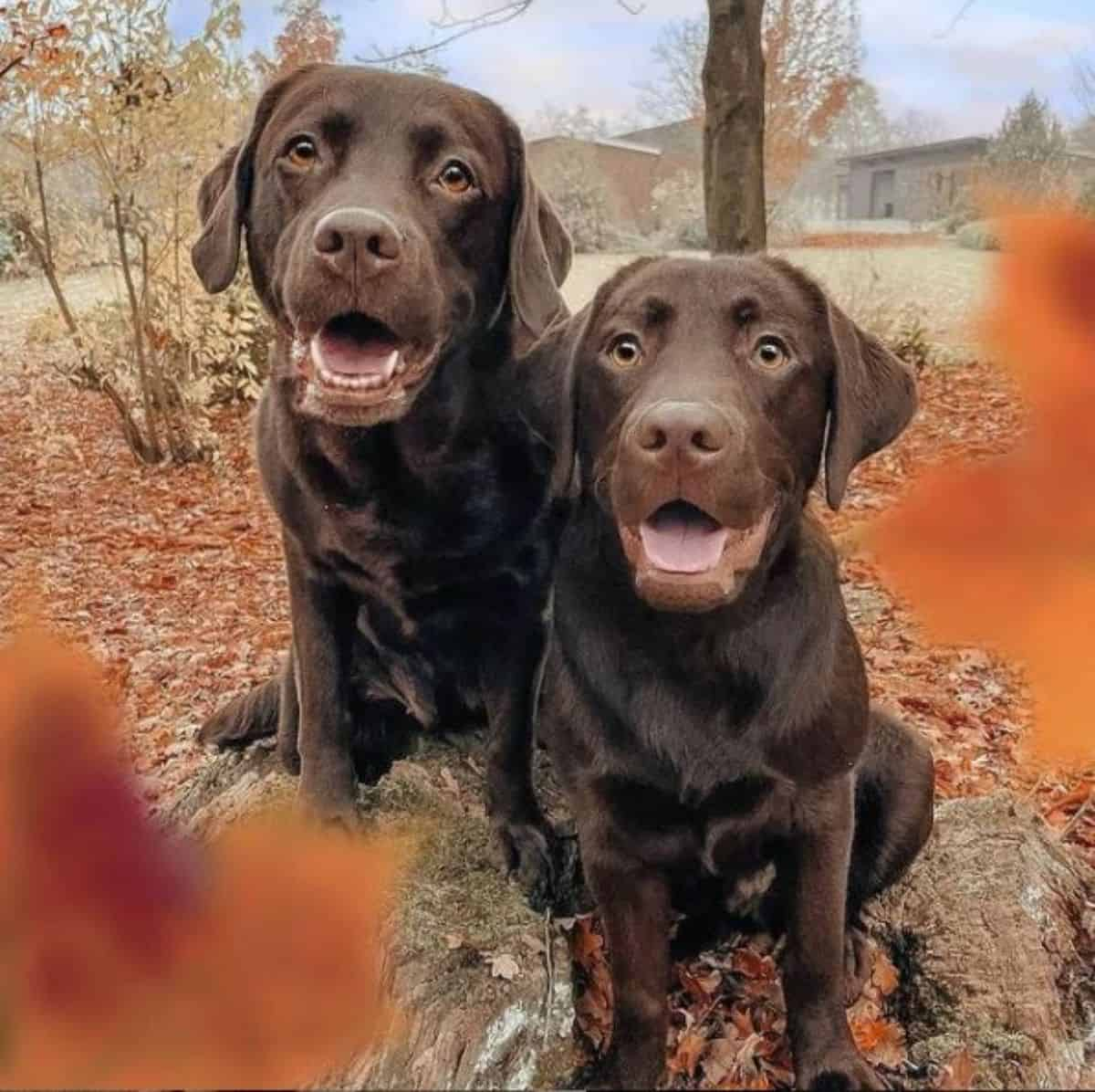 two chocolate labradors