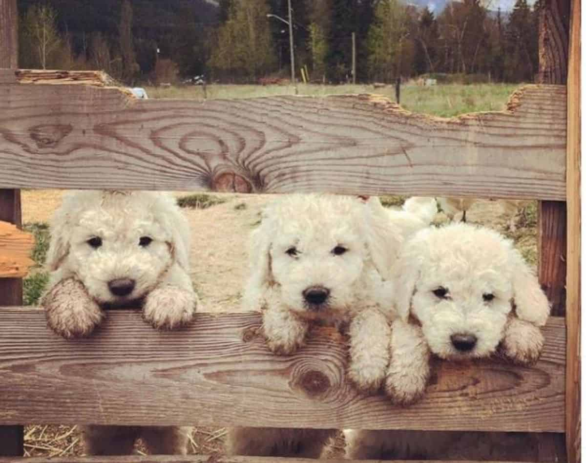 3 little puppy in a fence
