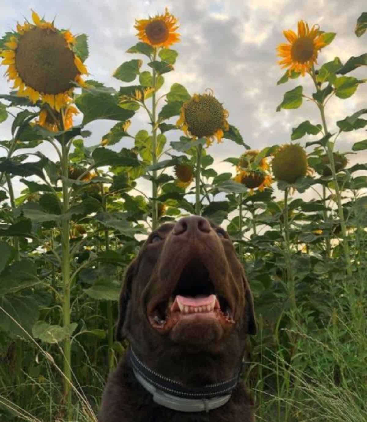 sunflower and labrador