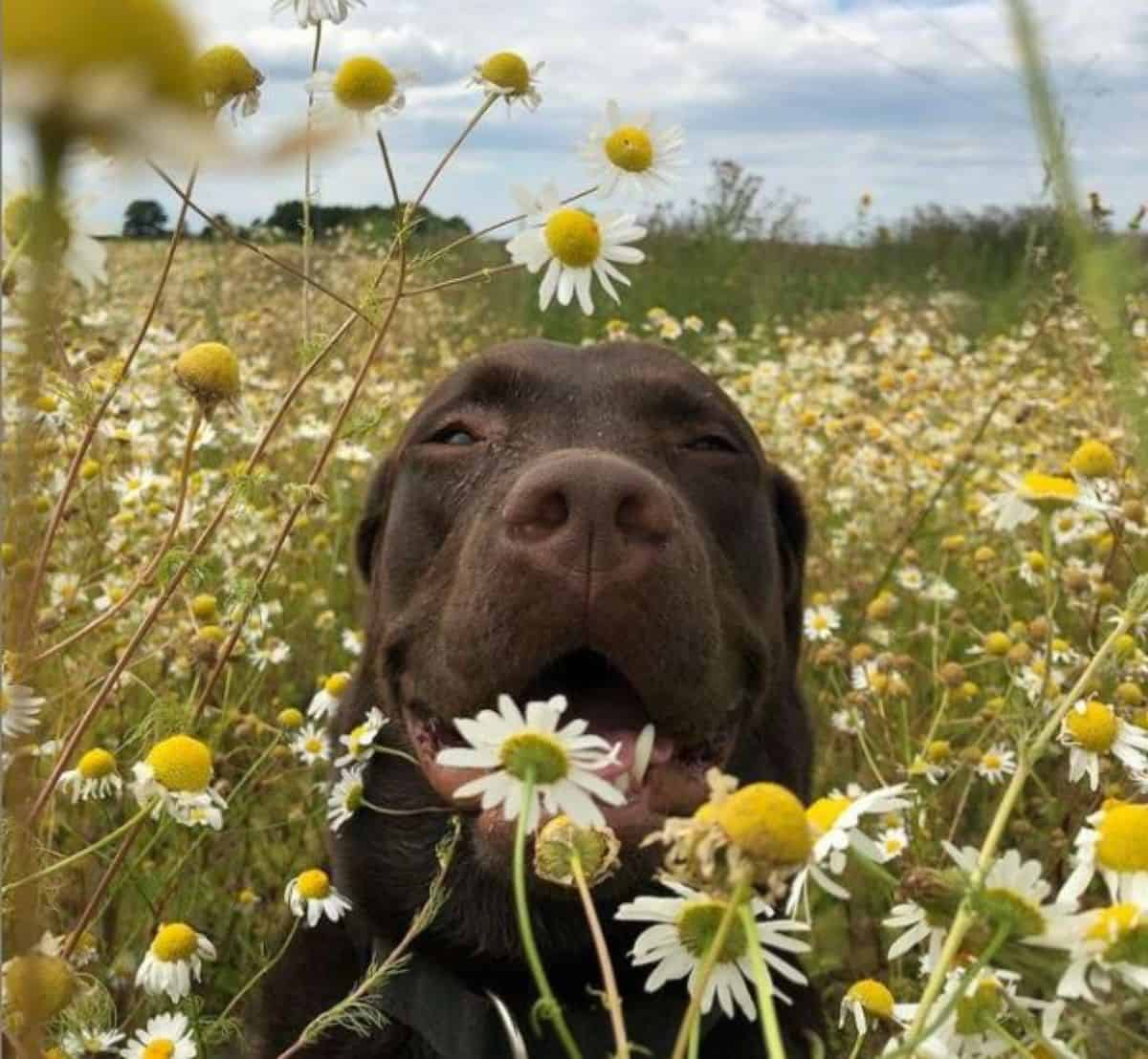 daisy and labrador