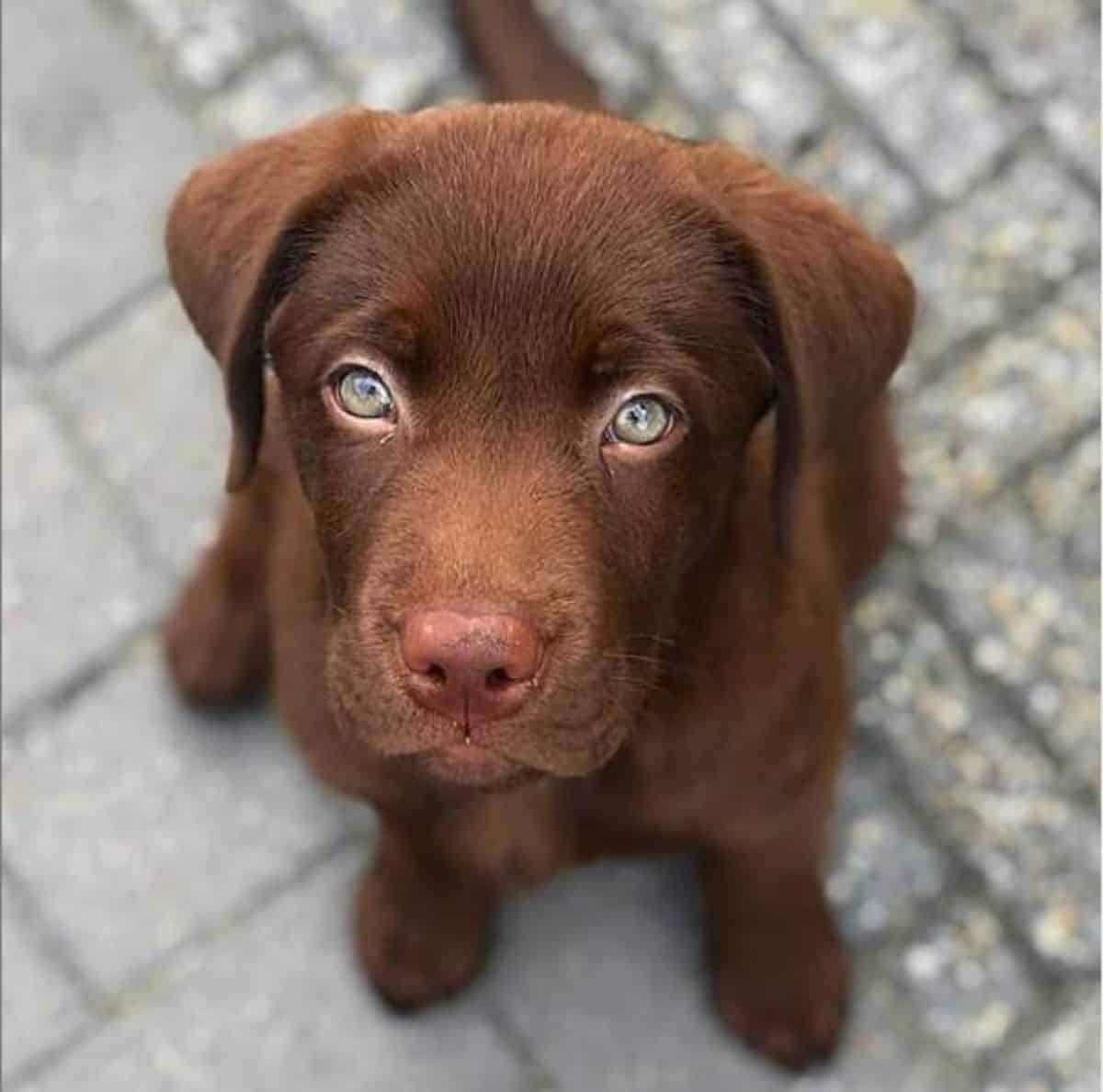puppy eyes labrador