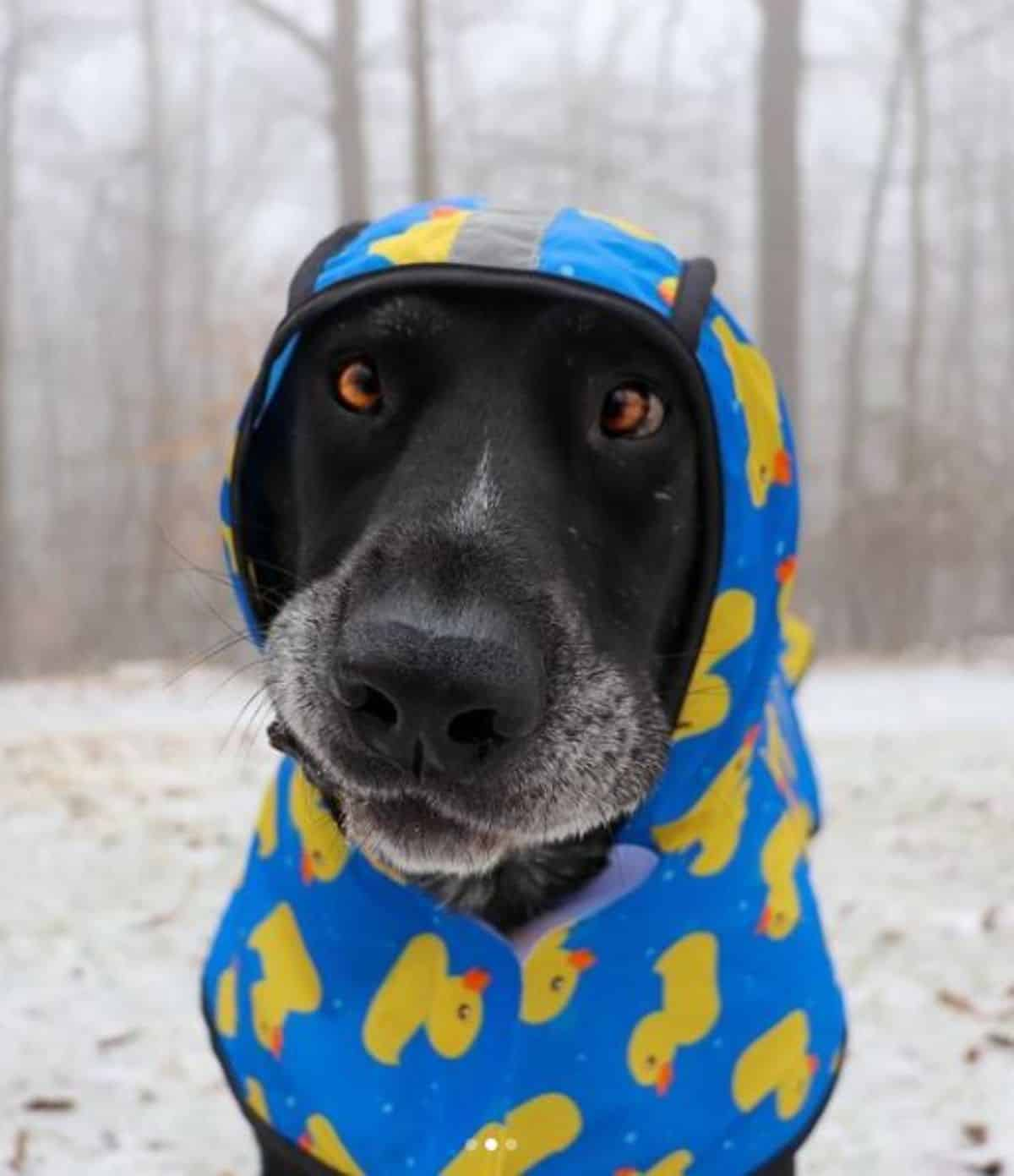 black labrador in cute sweater