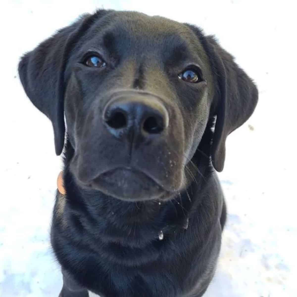 cute face black labrador