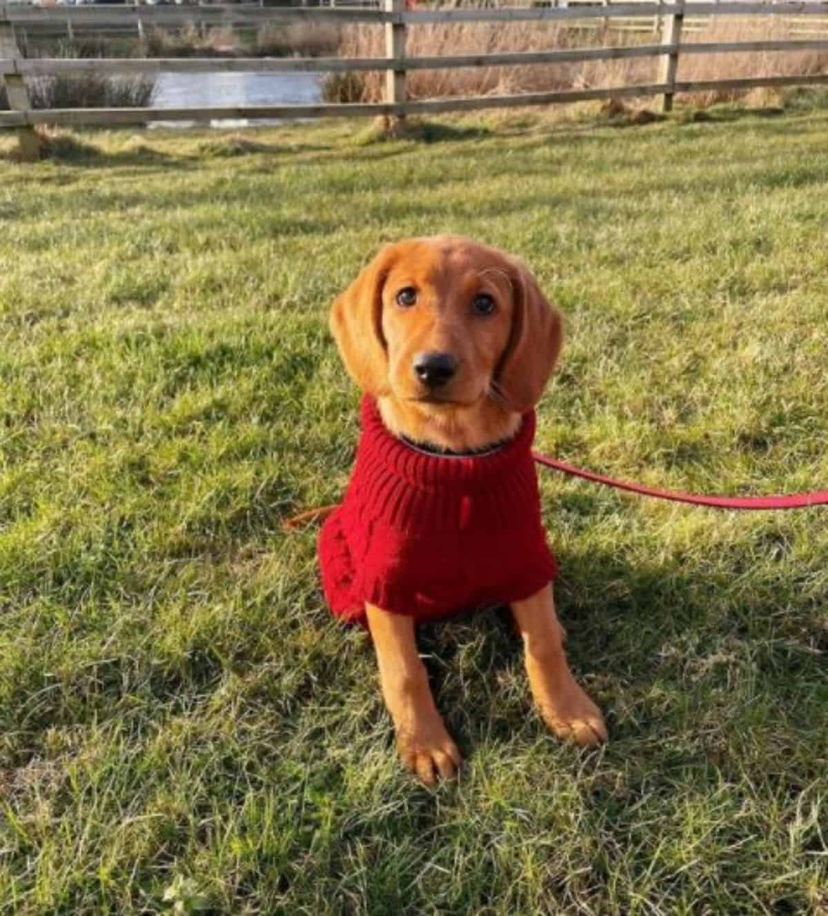labrador in red sweater