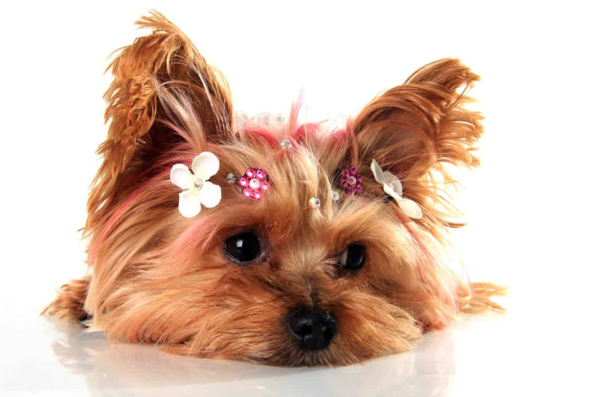 Adorable Yorkie face.