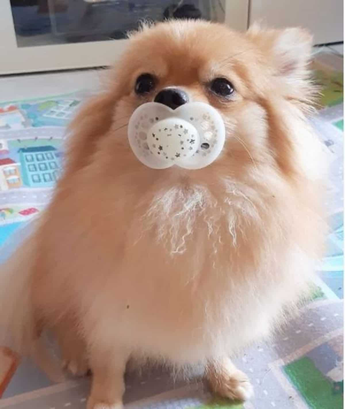 *pom with pacifier