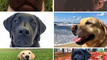 images of labradors