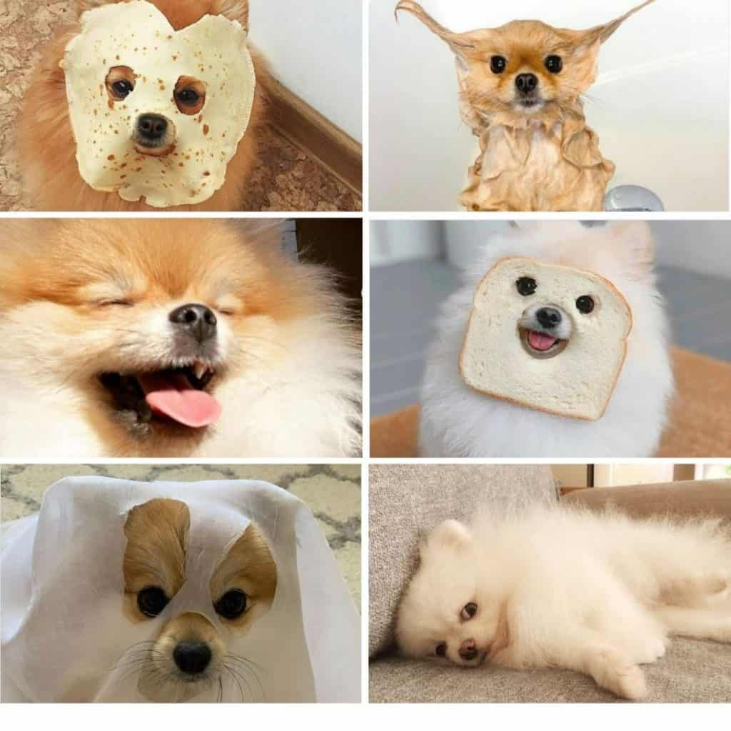 *images of funny pomeranians