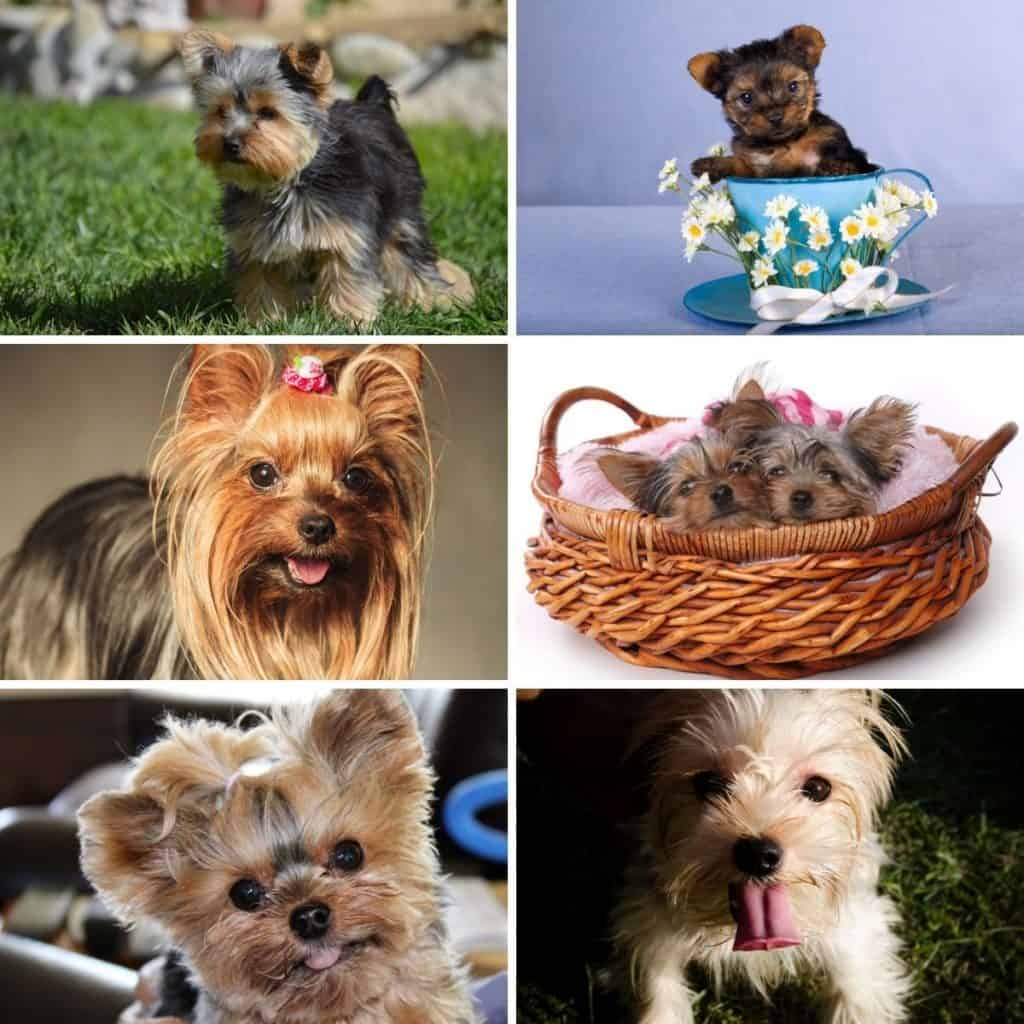 Collage photo featuring teacup yorkies.