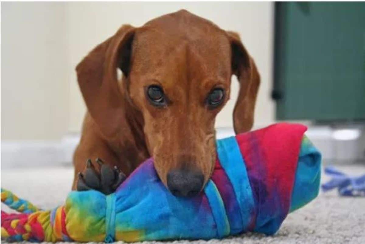 t-shirt lapped water bottle dog toy