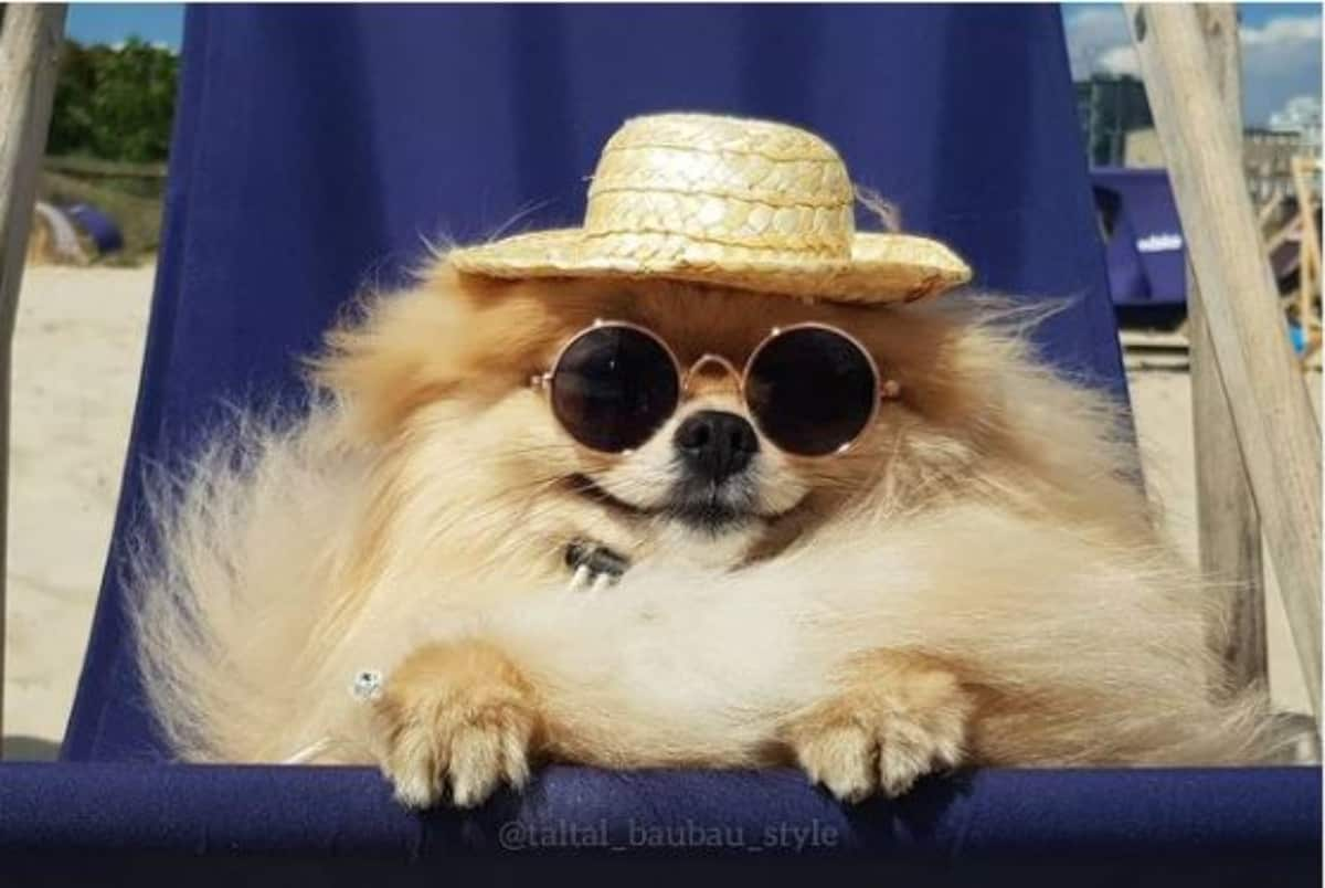 pomeranian in shades and hat