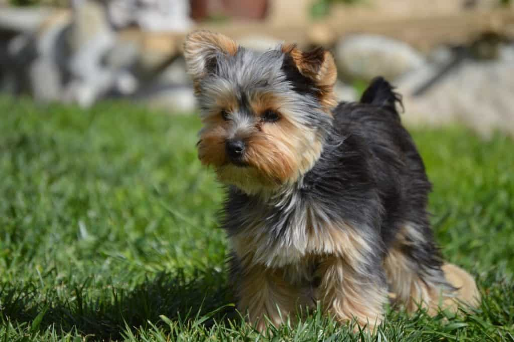 Teacup yorkie in grass.